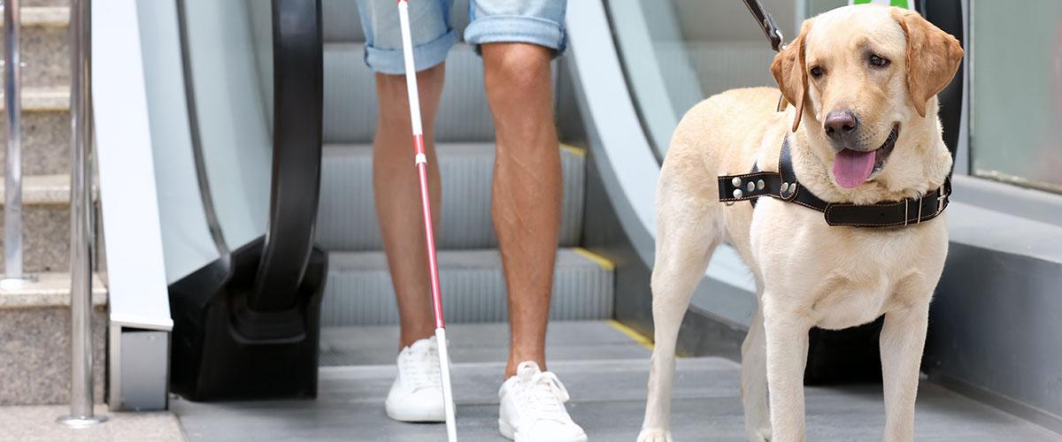 Golden Labrador Retriever service dog guiding a visually impaired man off of an escalator